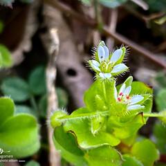 植物観察日記/繁縷/ハコベ/雑草 ハコベ(繁縷)  オオイヌノフグリと一緒…