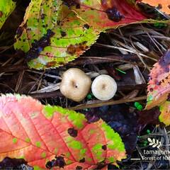 落ち葉/公園/キノコ/雨の日/落ち葉とキノコ/おでかけ/... 濡れ落ち葉とキノコ  雨に濡れた落ち葉が…