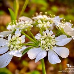 植物観察日記/オルレア ホワイトレース オルレア ホワイトレース  可愛らしいお…