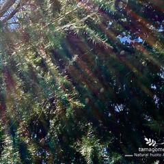 シダーローズ/ヒマラヤスギ/ヒマラヤ杉/おでかけ/LIMIAおでかけ部/おでかけワンショット/... ヒマラヤスギ  今日は朝の10時頃に 松…