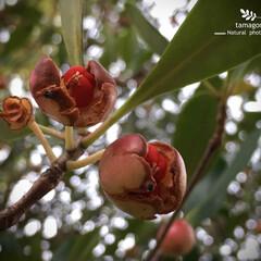 庭木の王/iPhone11ProMax/植物観察日記/モッコク深紅の種子/モッコクの実/自然観察日記/... モッコク(木斛)  モッコクの実が裂けて…