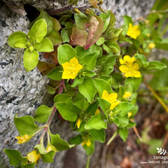 コナスビ/植物観察日記 コナスビ  冬の間は葉を紅くして 最初、…