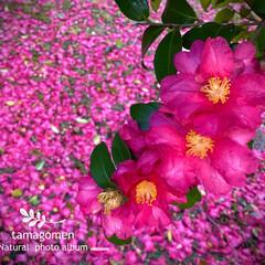 サザンカ/山茶花/植物観察日記 サザンカ【山茶花】  山茶花の絨毯ですね…
