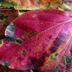 植物観察日記/自然観察日記/グラデーション/美しい葉っぱ/紅葉/iPhone6s plus 紅葉  綺麗にグラデーションになっていま…