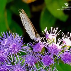 植物観察日記/自然観察日記/ヤマトシジミ/フジバカマ フジバカマと大和子灰蝶  線香花火の様な…