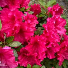 アカツツジ/赤躑躅/植物観察日記 アカツツジ【赤躑躅】  目の覚める様な真…