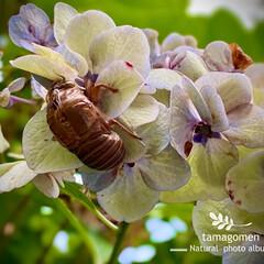 蝉の抜け殻/紫陽花/紫陽花と蝉の抜け殻/植物観察日記/昆虫観察日記 紫陽花と蝉の抜け殻  梅雨明けしたので猛…
