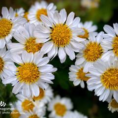 植物観察日記/実家の庭/小菊 コギク(小菊)  こちらの小菊も今まさに…