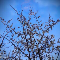 植物観察日記/白梅 ウメ(梅)  白梅ですが綺麗に咲いていま…