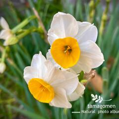 スイセン/水仙/植物観察日記 スイセン【水仙】  早いもので、水仙が咲…