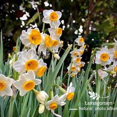 水仙/植物観察日記 スイセン【水仙】  ほのかに香る水仙の花…