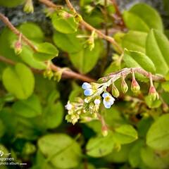 植物観察日記/胡瓜草/キュウリグサ キュウリグサ(胡瓜草)  凄く小さいお花…