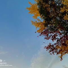植物観察日記/自然観察日記/青空と紅葉/紅葉/おでかけ 紅葉  青空に映える緑・赤・黄色の葉が …