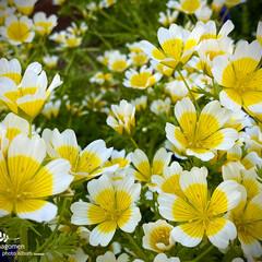 リムナンテス/植物観察日記 リムナンテス  埋もれてみたいくらい可愛…