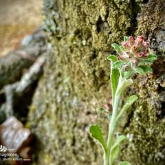 父小草/チチコグサ/植物観察日記 チチコグサ【父小草】  地味な雑草ですが…
