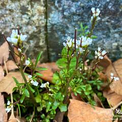 植物観察日記/タネツケバナ タネツケバナ  公園や道路脇に沢山咲いて…