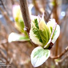 植物観察日記/額紫陽花/ガクアジサイ/額紫陽花の新芽 ガクアジサイ 【額紫陽花】  額紫陽花の…