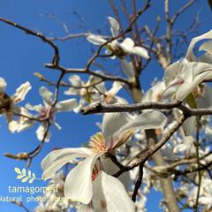 辛夷/植物観察日記 コブシ【辛夷】  満開を迎えた辛夷の花 …(3枚目)