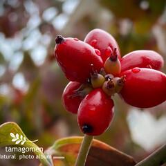 花水木の実/ハナミズキ/花水木/植物観察日記 ハナミズキ【花水木】  実が赤くなってき…