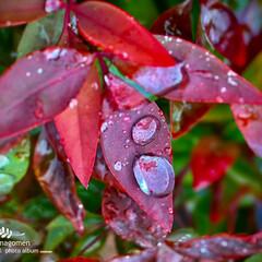 植物観察日記/オタフクナンテン オタフクナンテン  この時期は紅く色付く…