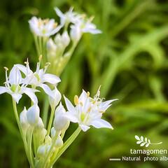 韮の花/ニラ/韭/植物観察日記/花 ニラ【韭】  愛でる分には可愛らしいお花…