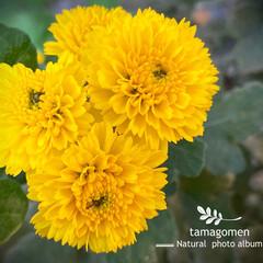 コギク/小菊/植物観察日記 コギク【小菊】  黄色の菊の花可愛らしい…