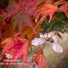 モミジ/紅葉の種子/紅葉/植物観察日記 モミジ【紅葉】  紅葉するモミジに種子が…