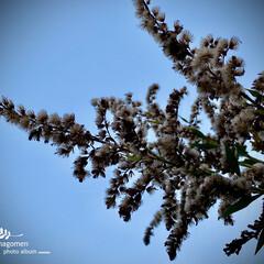 植物観察日記/自然観察日記/背高泡立草 セイタカアワダチソウ(背高泡立草)  冬…