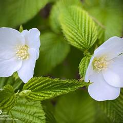 シロヤマブキ/白山吹/植物観察日記 シロヤマブキ(白山吹)  真っ白で綺麗で…