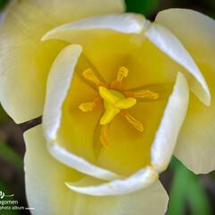 白色チューリップ/チューリップ/植物観察日記 チューリップ  春爛漫ですね 皆さんお元…