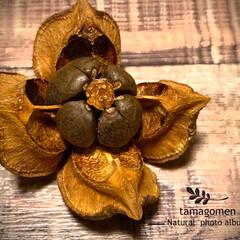 ツバキ/椿/椿の実/植物観察日記 ツバキ【椿】  綺麗に4つに開いた椿の実…