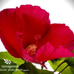 ハイビスカス/植物観察日記 ハイビスカス  ご近所さんのお庭から 紅…