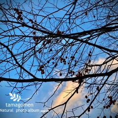 自宅の裏山/山柿/植物観察日記 ヤマガキ【山柿】  裏山にある野生種の柿…