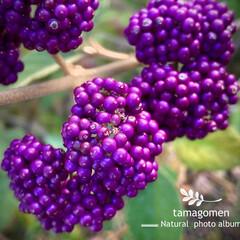 ムラサキモドキ/植物観察日記 ムラサキモドキ  紫式部とよく似ています…