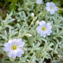夏雪草/セラスチューム/植物観察日記 セラスチューム【夏雪草】  白っぽい葉っ…