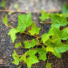 自然観察日記/植物観察日記/アイビー アイビー  我が家の小さな植物です 玄関…