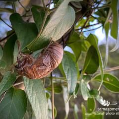 蝉の抜け殻/昆虫観察日記 蝉の抜け殻  蝉の抜け殻を見つけました …