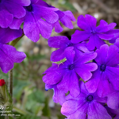 オンブバッタ/オンブバッタの赤ちゃん/紫色のバーベナ/バーベナ/植物観察日記 バーベナとオンブバッタの赤ちゃん  紫色…(1枚目)