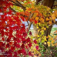 公園/植物観察日記/紅葉/もみじ モミジ(紅葉)  自然は美しいです- .…