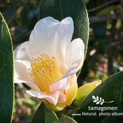 椿/植物観察日記 ツバキ【椿】  ほんのりピンク色の椿さん…