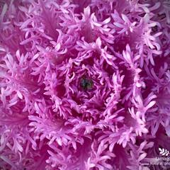 ハボタン/葉牡丹/植物観察日記 ハボタン(葉牡丹)  葉牡丹も色々と種類…