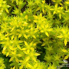 マンネングサ/万年草/植物観察日記 マンネングサ【万年草 】  黄色の星がた…