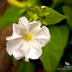 iPhone11ProMax/植物観察日記/自宅の裏山/ペチュニア/おでかけ ペチュニア  自宅の裏山近くに咲いていま…
