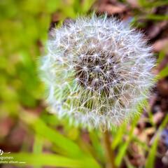植物観察日記/蒲公英の綿毛 タンポポ(蒲公英)  大きな蒲公英の綿毛…