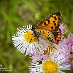 春紫菀とシジミチョウ/シジミチョウ/春紫菀/植物観察日記 春紫菀とシジミチョウ  おはようございま…
