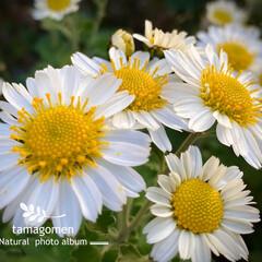 コギク/小菊/植物観察日記 コギク【小菊】  実家の小菊ちゃんです …