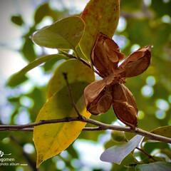 植物観察日記/椿/佐保川散策 佐保川散策・椿  実が開いて種子だけが下…