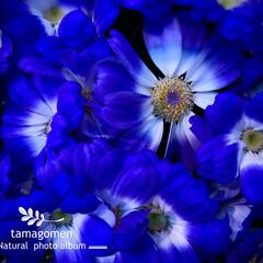 サイネリア/植物観察日記 サイネリア  色鮮やかで可愛らしい (*…(1枚目)