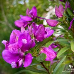 ポリガラ ミルティフォリア/植物観察日記 ポリガラ ミルティフォリア  鮮やかです…