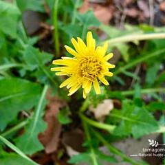ご近所の公園/自然観察日記/植物観察/蒲公英/おでかけ/LIMIAおでかけ部 季節はずれの蒲公英  公園に沢山の花を咲…